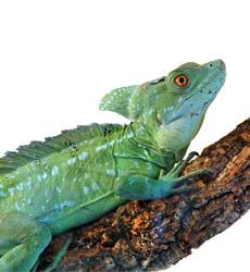 Green-Basilisk